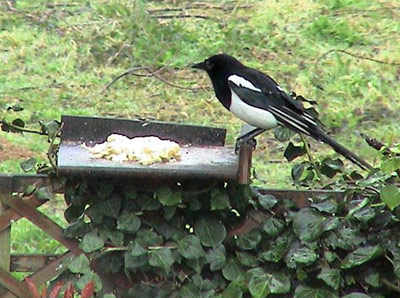 Magpie feeding station